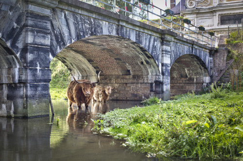 highland cattle Lille en hdr